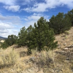pinon forest