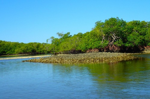 Mangroves Colonize Oyster Beds