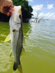 Crafty snook was hiding in downed mangrove